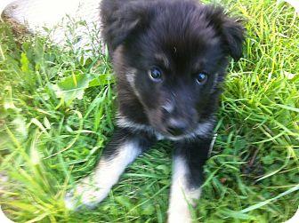 German Shepherd Dog Mix Puppy for adoption in Winnipeg, Manitoba - Smartie