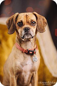 Pug/Beagle Mix Dog for adoption in Portland, Oregon - Hattie