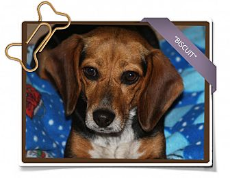 Beagle Dog for adoption in Portland, Oregon - Biscuit