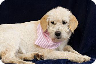 Terrier (Unknown Type, Small) Mix Puppy for adoption in Pinehurst, North Carolina - Evalina