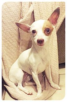 Chihuahua Mix Dog for adoption in Las Vegas, Nevada - Hoops
