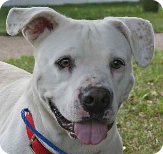 American Bulldog Mix Dog for adoption in Blountstown, Florida - Stella