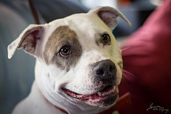 Pit Bull Terrier Mix Dog for adoption in Evansville, Indiana - Lulu