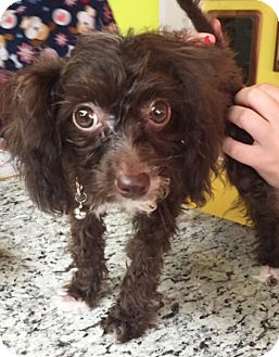 Poodle (Toy or Tea Cup) Mix Puppy for adoption in Boca Raton, Florida - Chocolate