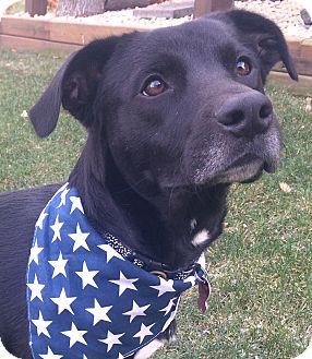 Labrador Retriever Mix Dog for adoption in Farmington, Minnesota - 3 legged Baxter