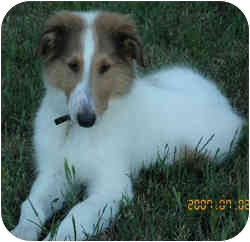 Collie Puppy for adoption in Redwood City, California - Danny