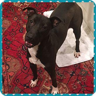Labrador Retriever/Boxer Mix Dog for adoption in Brattleboro, Vermont - CHLOE