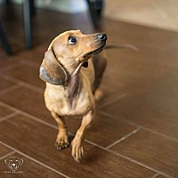Adopt A Pet :: Buttercup - Henderson, NV