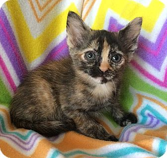Domestic Shorthair Kitten for adoption in Tampa, Florida - Stephanie