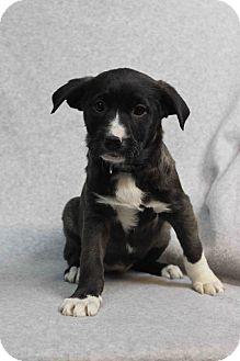 Labrador Retriever/Border Collie Mix Puppy for adoption in Westminster, Colorado - Jeannie