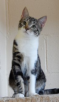 Domestic Shorthair Cat for adoption in Long Beach, New York - Cash
