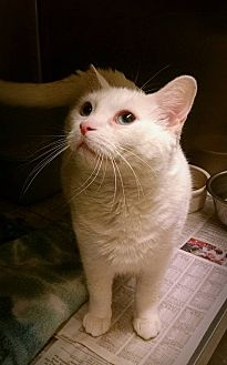 Domestic Shorthair Cat for adoption in Beacon, New York - Snowdrop