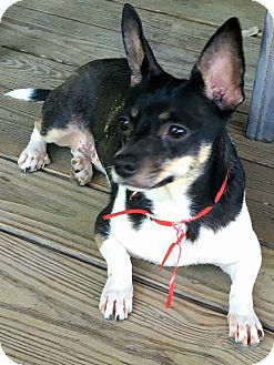 Chihuahua Mix Dog for adoption in Mary Esther, Florida - Ruby
