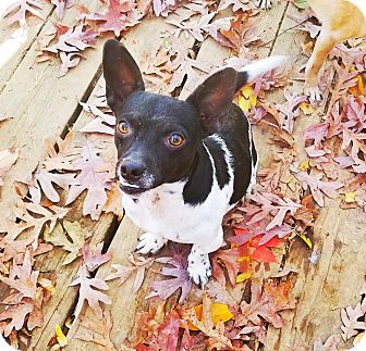 Chihuahua/Terrier (Unknown Type, Small) Mix Dog for adoption in Kingston, Tennessee - Arnold