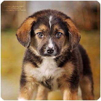 Australian Shepherd/Beagle Mix Puppy for adoption in Cincinnati, Ohio - Enzo