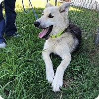 Adopt A Pet :: Nanook - Greeneville, TN