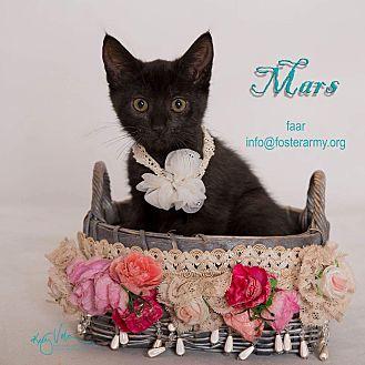 Domestic Shorthair Kitten for adoption in Riverside, California - Mars