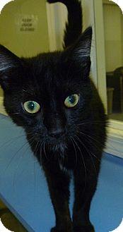 Domestic Shorthair Cat for adoption in Hamburg, New York - Lolly