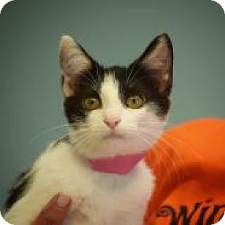 Domestic Shorthair Kitten for adoption in Dallas, Texas - Apaloosa