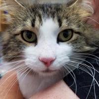 Adopt A Pet :: Lotus - Brownsburg, IN