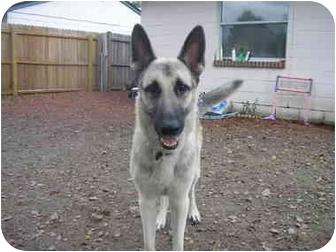 German Shepherd Dog Dog for adoption in Green Cove Springs, Florida - Boomer