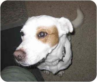 Australian Cattle Dog Mix Dog for adoption in Lakewood, Colorado - Paco