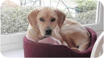Beagle/Labrador Retriever Mix Dog for adoption in Morehead City, North Carolina - Buff