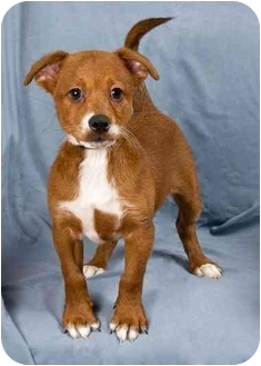 Rat Terrier/Lhasa Apso Mix Puppy for adoption in Anna, Illinois - RORY