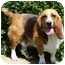 Photo 1 - Basset Hound Dog for adoption in Osseo, Minnesota - Tabby and Toby