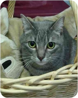 Domestic Shorthair Cat for adoption in Brenham, Texas - Rascal