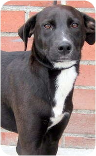 Whippet/Labrador Retriever Mix Dog for adoption in Los Angeles, California - Lucille *VIDEO*