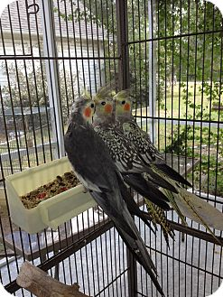 Cockatiel for adoption in Punta Gorda, Florida - Shirley