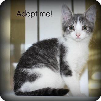 Domestic Shorthair Kitten for adoption in mishawaka, Indiana - Kiara (formerly Luna) - Pawmar