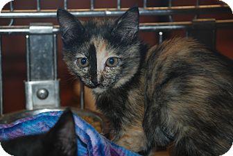 Calico Kitten for adoption in Ogden, Utah - Sassie