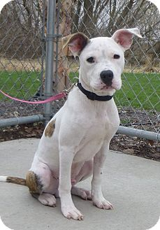 American Staffordshire Terrier/Pit Bull Terrier Mix Dog for adoption in Austin, Minnesota - Cypress