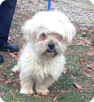Wheaten Terrier Mix Dog for adoption in Bloomfield, Connecticut - IPad