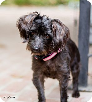 Poodle (Miniature)/Schnauzer (Miniature) Mix Dog for adoption in Baton Rouge, Louisiana - Lily