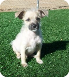 Terrier (Unknown Type, Small)/Poodle (Miniature) Mix Puppy for adoption in Tustin, California - Joseph