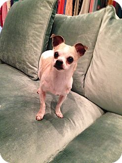 Chihuahua Mix Dog for adoption in Los Angeles, California - Minnie