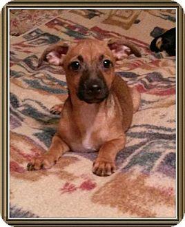 Dachshund Mix Puppy for adoption in Encinitas, California - Memo