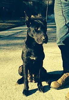Labrador Retriever Mix Dog for adoption in Slidell, Louisiana - Patsy (Cline)