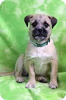 Border Terrier Mix Puppy for adoption in Westminster, Colorado - Smirkey Miguel