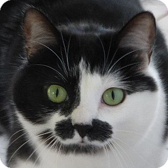 Domestic Shorthair Cat for adoption in Port Angeles, Washington - Kelly