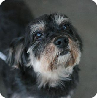 Yorkie, Yorkshire Terrier/Dachshund Mix Dog for adoption in Canoga Park, California - Elsa-placed