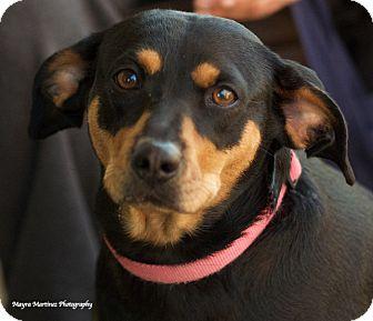 Labrador Retriever/Hound (Unknown Type) Mix Dog for adoption in Homewood, Alabama - Amelia