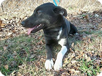Shepherd (Unknown Type) Mix Dog for adoption in Horseshoe Bend, Arkansas - Ruthie