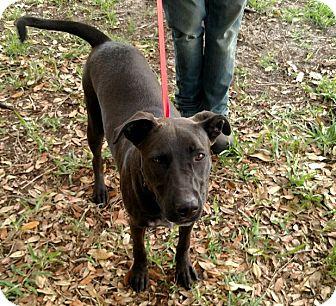 Labrador Retriever/German Shepherd Dog Mix Dog for adoption in Oviedo, Florida - Buddy