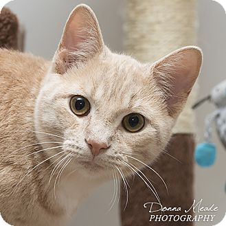 Domestic Shorthair Cat for adoption in Troy, Ohio - Milo