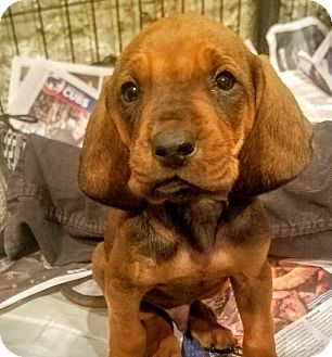 Bloodhound/Redbone Coonhound Mix Puppy for adoption in Chicago, Illinois - Layla*ADOPTED!*