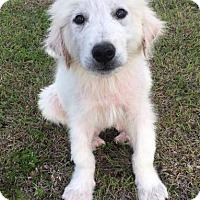 Adopt A Pet :: Cedar - Kyle, TX